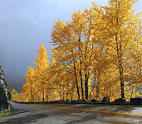 Aspens, Autumn, Glacier National Park