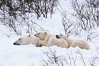 Polar bear (Ursus maritimus) sow with cubs sleeping.