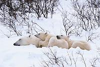 Polar bear (Ursus maritimus) sow with cubs sleeping.