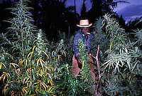 Giamaica, coltivazione di cannabis<br /> Jamaica, cultivation of cannabis