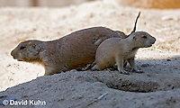 0601-1017  Adult with Pup, Black-tailed Prairie Dogs, Cynomys ludovicianus  © David Kuhn/Dwight Kuhn Photography