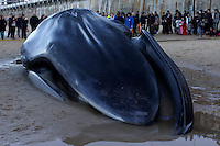 A dead whale is lying in the Concha beach of Donostia on December 6, 2012, Basque Country. (Photo: Ander Gillenea)