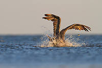 Adult Brown Pelicans (Pelecanus occidentalis) diving for fish in coastal shallows of a barrier island. A small fish eludes capture. Terrebonne Parish, Louisiana. October.