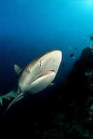 "An ""in-your-face"" look at a serious fish. Gray reef shark, Carcharhinus amblyrhynchos, Fiji."