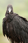 Black Vulture head, Costa Rica