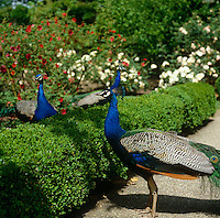 Peacocks in the garden at Longleat