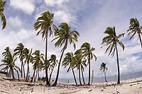 Palm Trees on Tropical Clipperton Island France/Mexico