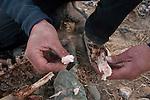 Snow Leopard (Panthera uncia) biologist, Shannon Kachel, inspecting Siberian Ibex (Capra sibirica) female's bone marrow for health status, Sarychat-Ertash Strict Nature Reserve, Tien Shan Mountains, eastern Kyrgyzstan