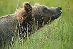 Brown bear, Admiralty Island National Monument-Kootznoowoo Wilderness, Alaska