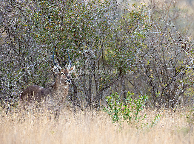 The waterbuck is one of numerous antelope species in southern Africa.