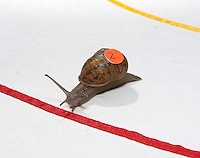 2014 World Championship Snail Racing in Congham (Norfolk)<br /> Picture Description:<br /> The 2014 championships were held on 19th July 2014 and the winner was a snail called Wells owned and trained by Zeben Butler-Alldred, aged 5, from London.&nbsp; Wells completed the course in 3 minutes 19 seconds, a slow time because of the heat. Zeben was on holiday in West Norfolk and named his snail after the local town Wells which he liked.<br /> General info:<br /> For more than 25 years the World Snail Racing Championships have been held at Congham, near King's Lynn, in Norfolk.Before snails can enter a race a sticker with a number must be put on so they can be identified. The snails race from the centre of a circle to the outside. The circle has a radius of 13 inches. The snails are put in the middle and pointed in the right direction.The  Snail Master Neil starts the races. He shouts: &quot;Ready, steady, SLOW!&quot; And off dash the snails! The Snail Master keeps the course well-watered as snails like damp conditions.Races are held on a table covered with a white cloth. Machine a circle, with braid in the middle, and then machine a similar circle 13 inches away.Owners do dress up. The World record stands at 2 minutes over the 13 inches. It was set up in 1995 by a snail called Archie. The record can only be challenged at the World Championships at Congham.Giant foreign snails are not allowedOften owners like to give their snails names like Speedy or Schumacher!<br /> Picture by Marcello Pozzetti &copy; IPS PHOTO AGENCY<br /> Cavell Barn<br /> The Common<br /> Swardeston<br /> Norwich<br /> Norfolk<br /> NR14 8DZ<br /> T 01508 571 480<br /> M 07973308835