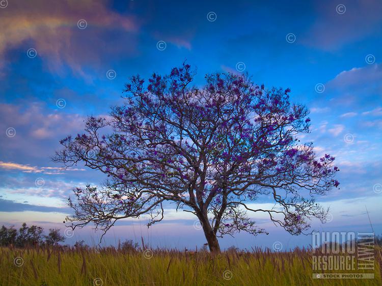At sunrise, a light rainbow shimmers over a Jacaranda tree in Kailua-Kona, Big Island.