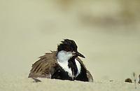 Spornkiebitz, Sporn-Kiebitz, brütend, Hoplopterus spinosus, spur-winged plover