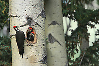 Pileated woodpecker (Dryocopus pileatus) with young in nest in mature trembling aspen tree (Populus tremuloides). <br />