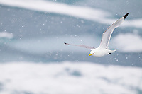 Black-legged kittiwakes in fly in the falling snow, Svalbard, Norway