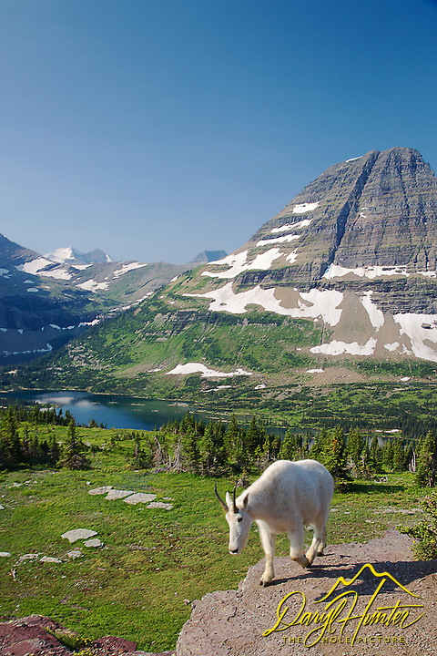 Mountain Goat, Hidden Lake, Bearhat Mountain, Glacier National Park