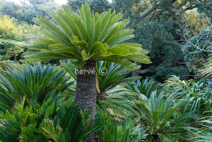Le domaine du Rayol en f&eacute;vrier : dans le jardin asiatique, Cycas revoluta<br /> <br /> (mention obligatoire du nom du jardin &amp; pas d'usage publicitaire sans autorisation pr&eacute;alable)