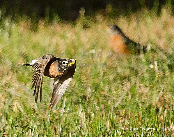 American Robin in flight