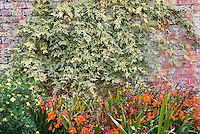 Crocosmia summer flowering bulb and variegated vine on brick wall