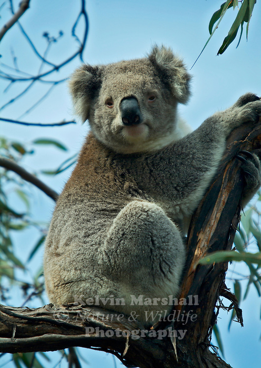 """The koala is a small bear-like, tree-dwelling, herbivorous marsupial which averages about 9kg (20lb) in weight. Its fur is thick and usually ash grey with a tinge of brown in places. ..The koala gets its name from an ancient Aboriginal word meaning """"no drink"""" because it receives over 90% of its hydration from the Eucalyptus leaves (also known as gum leaves) it eats, and only drinks when ill or times when there is not enough moisture in the leaves. ie during droughts etc. ..The koala is the only mammal, other than the Greater Glider and Ringtail Possum, which can survive on a diet of eucalyptus leaves..."""