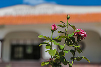 a rose in front of the general civic auditorium Plutarco Elias Calles in the municipality of<br /> Municipal Palace of Fronteras, Sonora, Mexico.<br /> <br /> una rosa frente al auditorio civico general Plutarco Elias Calles en el municipio de<br /> palacio municipal de Fronteras, Sonora, Mexico.