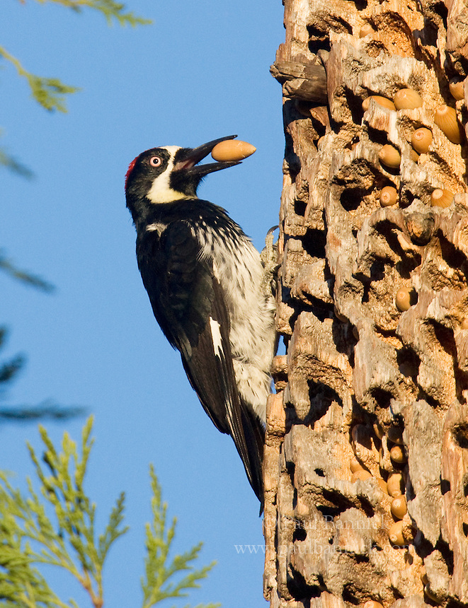 An Acorn Woodpecker, Melanerpes formicivorus, prepares to place an acorn into a hole in his granary in a Redwood in Santa Clara County, California.