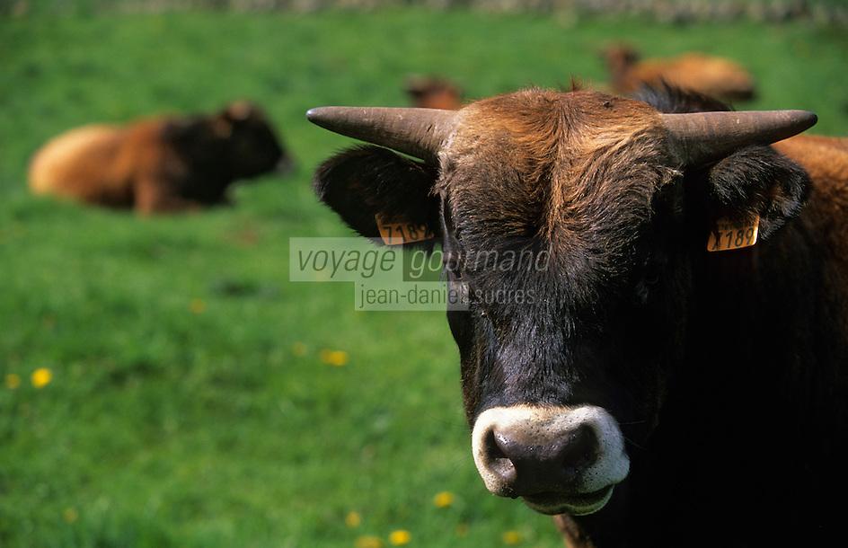 Europe/France/Auvergne/12/Aveyron/Env. de Laguiole: Vache de race Aubrac en pâturage