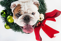 Champ mascot bulldog - Christmas wreath.<br />