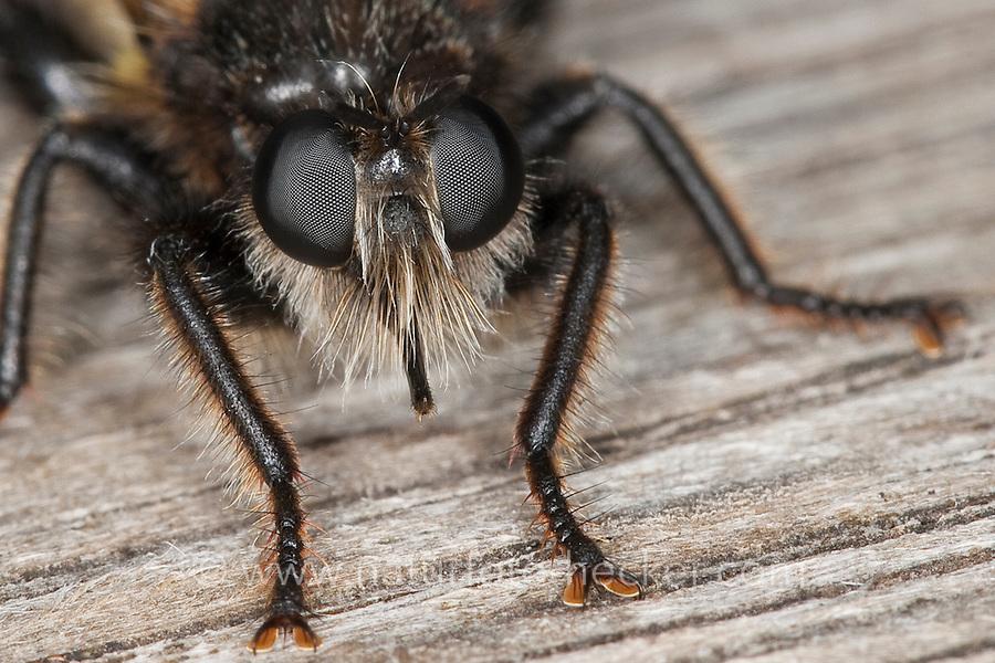 Gelbe Raubfliege, Gelbe Mordfliege, Weibchen, Portrait, Porträt, Laphria flava, Bee like Robber-fly, Bee-like Robber-fly, Bee like Robberfly, Raubfliegen, Asilidae, robberfly, robberflies, robber-fly, robber-flies