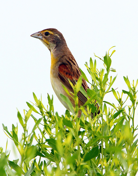 Adult male dickcissel