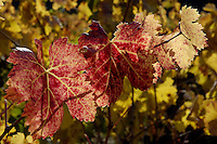 Autumn leaves in a vineyard, Provence, France.