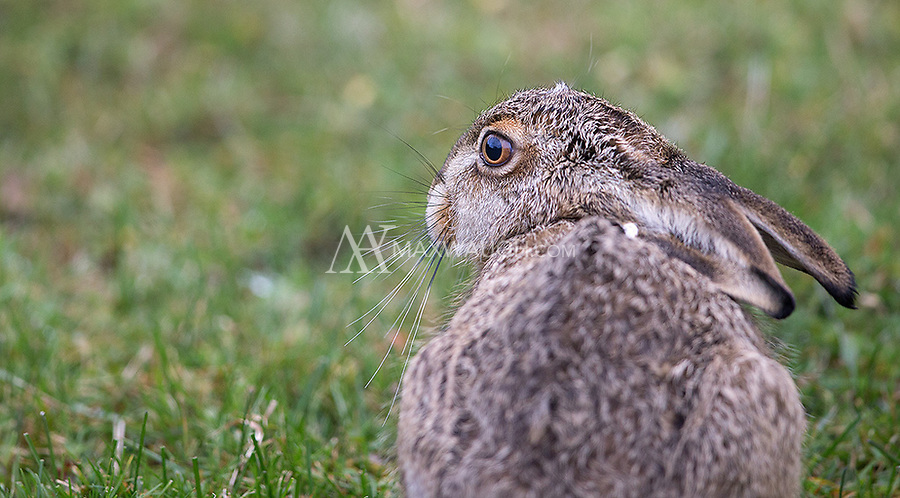 The European hare is a non-native species found in Patagonia.