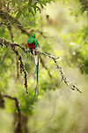 Resplendent Quetzal (Pharomachrus mocinno), Costa Rica