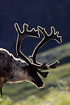 USA, ALASKA, DENALI NATIONAL PARK, NEAR EIELSON VISITOR CENTER, CARIBOU, BACKLIT, CLOSE-UP