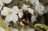 Dunkle Erdhummel, Königin beim Blütenbesuch an Kirsche, Nektarsuche, Bestäubung, Bombus terrestris, buff-tailed bumble bee