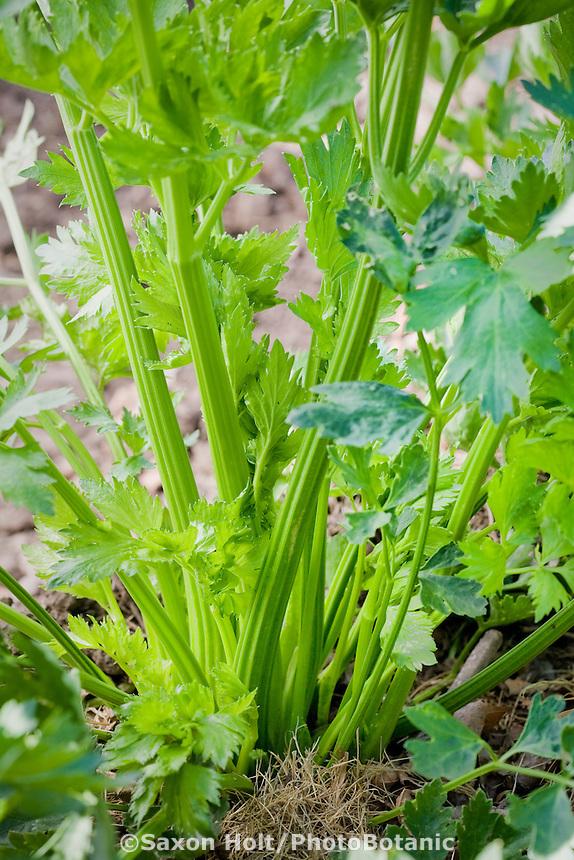 Celery growing in garden, Tierra Vegetable garden