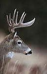 Trophy Class Whitetail Buck in Rut