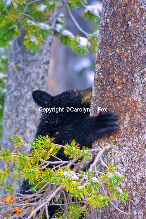 A black bear cub climbs a White Pine bark tree in Yellowstone National Park in Wyoming to eat the seeds.  This is an important food source for bears.