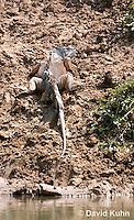 0625-1106  Male Green Iguana (Common Iguana), On River Bank in Belize, Iguana iguana  © David Kuhn/Dwight Kuhn Photography