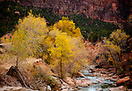 November 16, 2017:  Autumn's color lingers into early winter within Zion's red sandstone canyons, Zion National Park, UT.