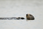 Sea Otter (Enhydra lutris) female feeding on mussel prey, Elkhorn Slough, Monterey Bay, California