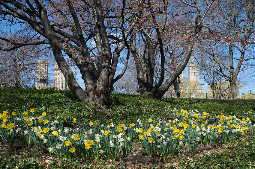 Daffodils Bloom in Central Park
