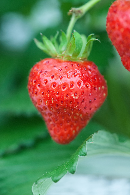 Strawberry 'Lucy', a late summer variety.