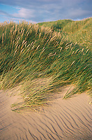 MARRAM Ammophila arenaria Height to 1m<br /> Perennial of coastal dunes that colonises and stabilises shifting sands by means of its underground stems. FLOWERS are borne in dense spikes, with 1-flowered, straw-coloured spikelets (Jul-Aug). FRUITS are small, dry nutlets. LEAVES are tough, grey-green, rolled and sharply pointed. STATUS-Widespread and common on suitable coasts.
