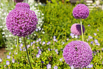 Big purple globe allium stand tall against green foliage in a summer garden.