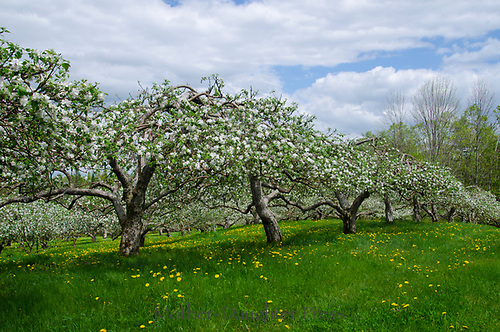 Blooming orchard, Hansel's orchard, North Yarmouth Maine, USA