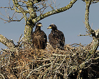 Two eaglets in the LLano, TX nest