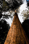 Upper Florentine Forest Tasmania, the view of the treehouses from the ground. Protestors have blocked the forest access road made by contractors for Forestry Tasmania, in order to stop the logging of old growth forest in what is potentially a World Heritage Area.