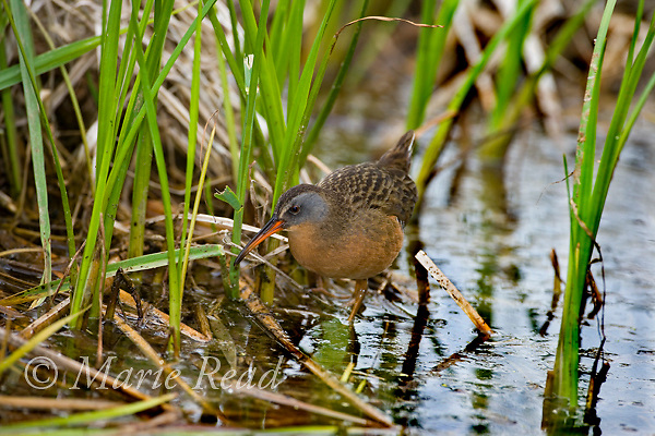 Virginia Rail (Rallus limicola), walking through a marsh, Danby, New York, USA