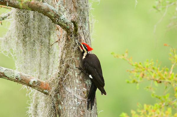 Pileated Woodpecker (Dryocopus pileatus) on baldcypress tree in southern swamp.